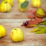 Organic quince (apple quince) on table, close-up